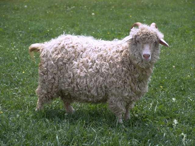 Bonne fête d'Eid  Mouton