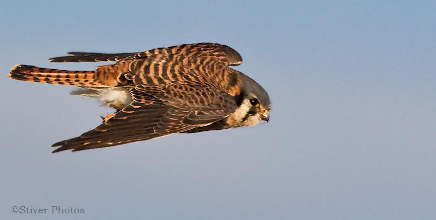Falconiformes. sub Falconidae - sub fam Falconinae - gênero Falco - Página 3 American_kestrel22