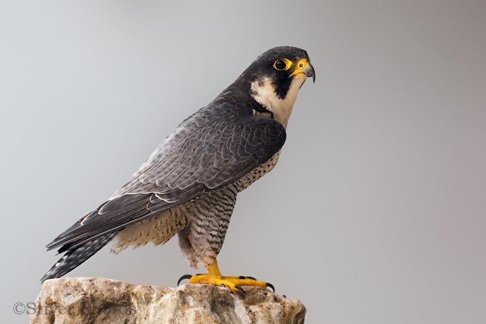 Falconiformes. sub Falconidae - sub fam Falconinae - gênero Falco - Página 2 Peregr2