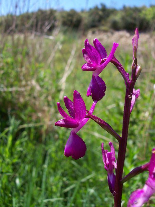 Anacamptis laxiflora ( Orchis à fleurs lâches ) Anacamptis_laxiflora_1