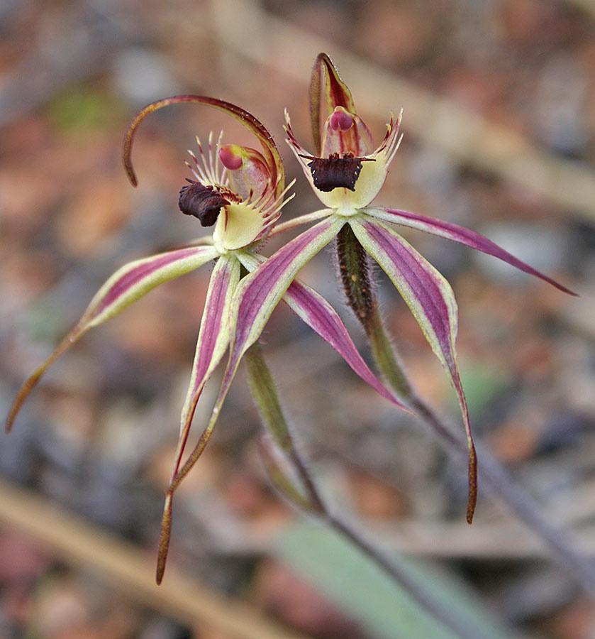 Orchidée rarissime d'Australie Caladenia-williamsiae-Weam-Reserve-26-Aug-2005