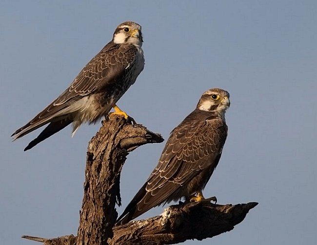 Falconiformes. sub Falconidae - sub fam Falconinae - gênero Falco - Página 2 _j3c8988laggar_falcon_pair