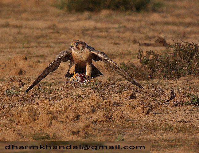 Falconiformes. sub Falconidae - sub fam Falconinae - gênero Falco - Página 2 Barbary_falcon_613dk