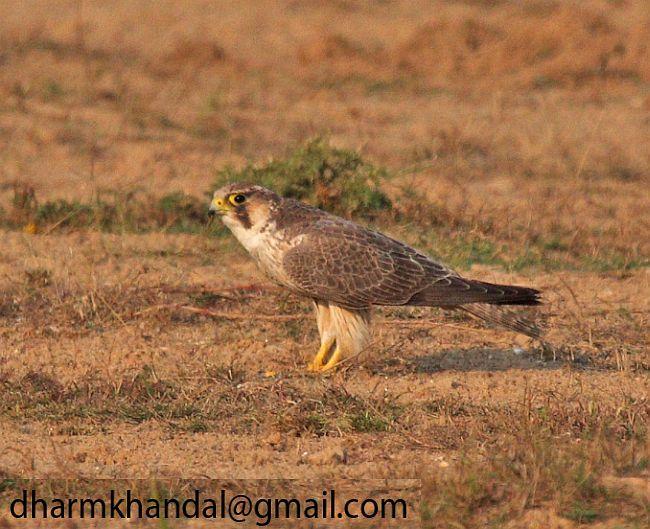 Falconiformes. sub Falconidae - sub fam Falconinae - gênero Falco - Página 2 Barbary_falcon_615dk