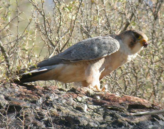 Falconiformes. sub Falconidae - sub fam Falconinae - gênero Falco - Página 2 Barbary_falcon_ba