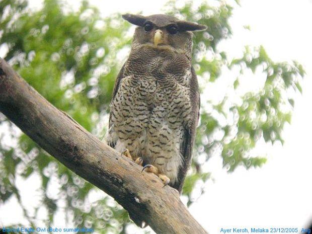 Strigformes: Famíla Strigidae- sub fam. Buteonidae. Género Ketupa (por vezes incluído em Bubo) Barred_eagle_owl_2_ang