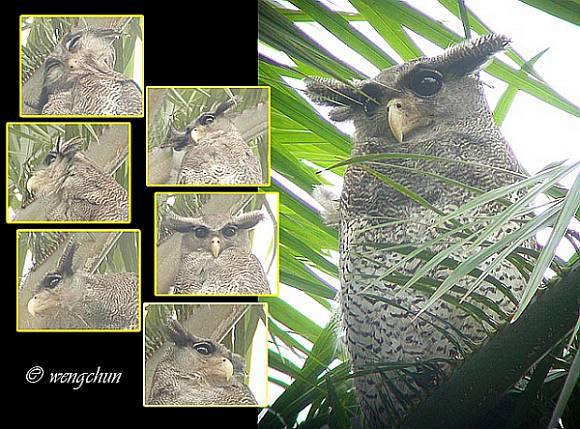 Strigformes: Famíla Strigidae- sub fam. Buteonidae. Género Ketupa (por vezes incluído em Bubo) Barred_eagle_owl_7022_cwc
