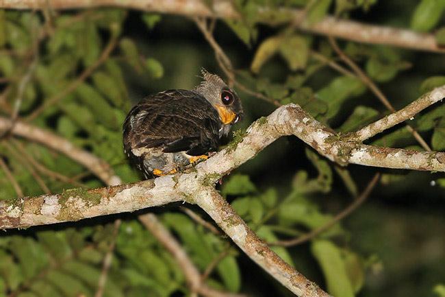 Strigformes: Famíla Strigidae- sub fam. Buteonidae. Género Ketupa (por vezes incluído em Bubo) Barredeagleowl