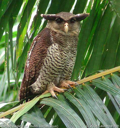 Strigformes: Famíla Strigidae- sub fam. Buteonidae. Género Ketupa (por vezes incluído em Bubo) Barredeagleowl9594_lp