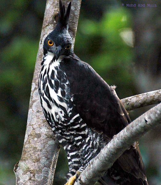 Falconiformes. Família  Acciptridae - Subfamília Buteonidade- Gaviões de penacho. genêro SPIZAETUS Blyths_hawk_eagle_4_mam