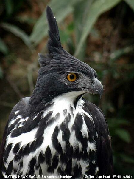 Falconiformes. Família  Acciptridae - Subfamília Buteonidade- Gaviões de penacho. genêro SPIZAETUS Blythshawkeagle3_tlh
