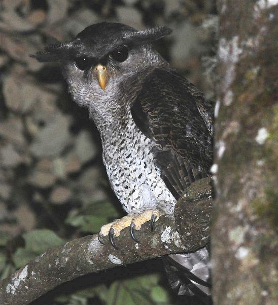 Strigformes: Famíla Strigidae- sub fam. Buteonidae. Género Ketupa (por vezes incluído em Bubo) Bubo.sumatranus.gunung_emas_je