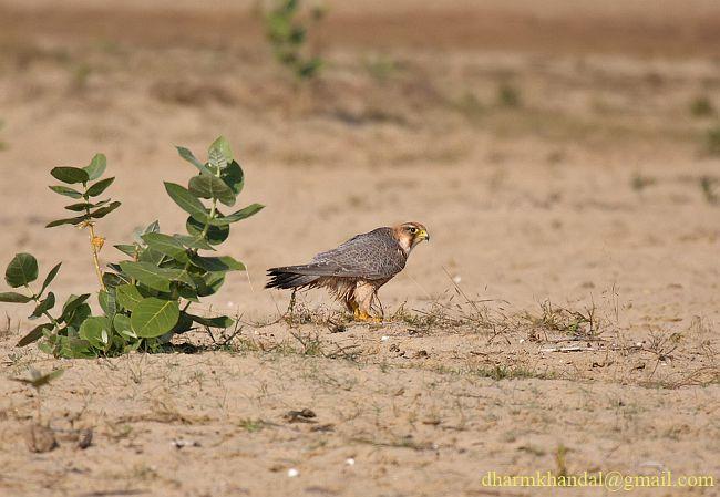 Falconiformes. sub Falconidae - sub fam Falconinae - gênero Falco - Página 2 Dpp_290dk