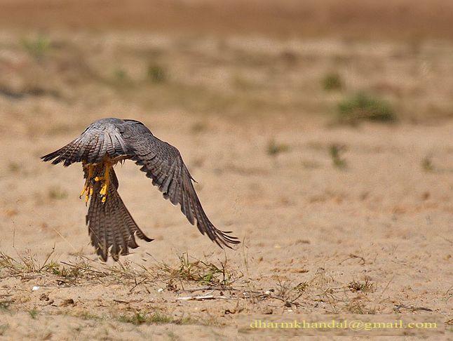 Falconiformes. sub Falconidae - sub fam Falconinae - gênero Falco - Página 2 Dpp_291dk