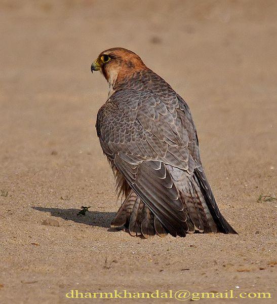 Falconiformes. sub Falconidae - sub fam Falconinae - gênero Falco - Página 2 Dpp_296dk