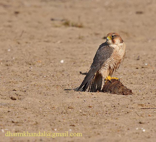 Falconiformes. sub Falconidae - sub fam Falconinae - gênero Falco - Página 2 Dpp_298dk