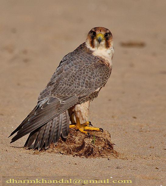 Falconiformes. sub Falconidae - sub fam Falconinae - gênero Falco - Página 2 Dpp_299dk