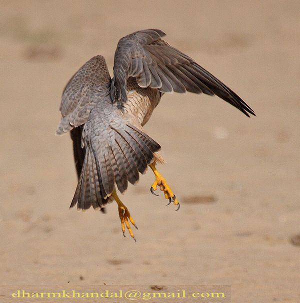 Falconiformes. sub Falconidae - sub fam Falconinae - gênero Falco - Página 2 Dpp_302dk
