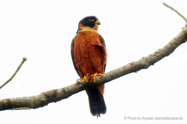 Falconiformes. sub Falconidae - sub fam Falconinae - gênero Falco - Página 3 Dscn7661_copy1