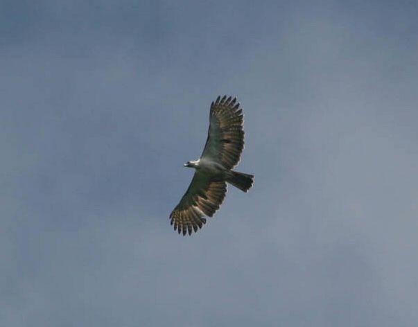 Falconiformes. Família  Acciptridae - Subfamília Buteonidade-Águias coroadas - gênero Pitecophaga jefferyi . Águia das Filipinas. Eagle_3_rh
