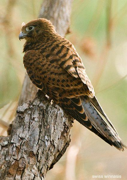 Falconiformes. sub Falconidae - sub fam Falconinae - gênero Falco - Página 2 Falco_moluccensissw