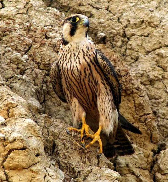 Falconiformes. sub Falconidae - sub fam Falconinae - gênero Falco - Página 2 Falco_pelegrinoides2_kutch11122009vvm