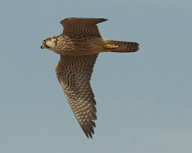 Falconiformes. sub Falconidae - sub fam Falconinae - gênero Falco - Página 2 Falcon014_fine