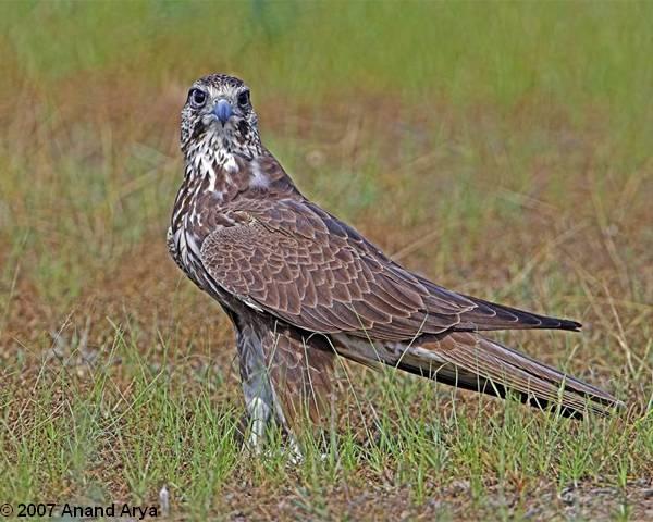 Falconiformes. sub Falconidae - sub fam Falconinae - gênero Falco - Página 2 Falcon_laggar__aa