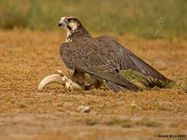 Falconiformes. sub Falconidae - sub fam Falconinae - gênero Falco - Página 2 Falconlaggar.2