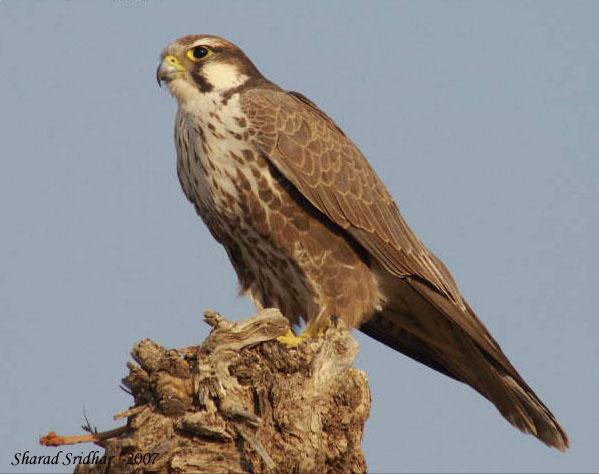 Falconiformes. sub Falconidae - sub fam Falconinae - gênero Falco - Página 2 Falconlaggar1