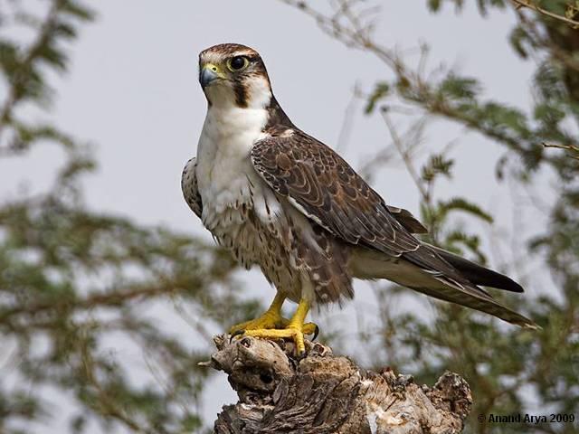 Falconiformes. sub Falconidae - sub fam Falconinae - gênero Falco - Página 2 Falconlaggar3
