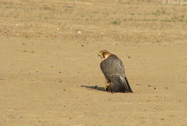 Falconiformes. sub Falconidae - sub fam Falconinae - gênero Falco - Página 2 Img_7250bhab