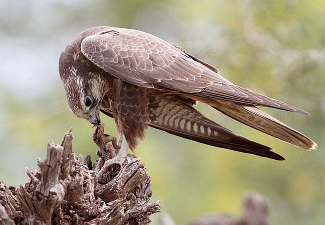 Falconiformes. sub Falconidae - sub fam Falconinae - gênero Falco - Página 2 Lagar_falcon_feedd