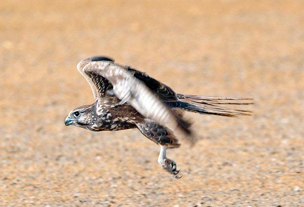 Falconiformes. sub Falconidae - sub fam Falconinae - gênero Falco - Página 2 Laggar