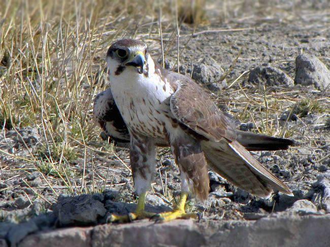 Falconiformes. sub Falconidae - sub fam Falconinae - gênero Falco - Página 2 Laggar_9579
