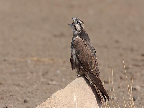 Falconiformes. sub Falconidae - sub fam Falconinae - gênero Falco - Página 2 Laggar_copy1