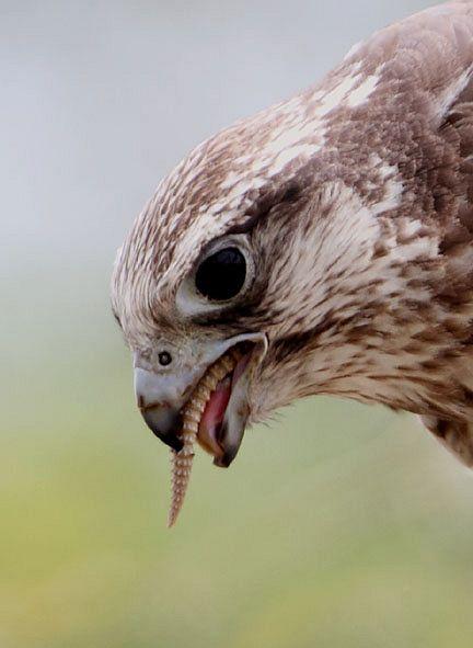 Falconiformes. sub Falconidae - sub fam Falconinae - gênero Falco - Página 2 Laggar_falcon_feeding