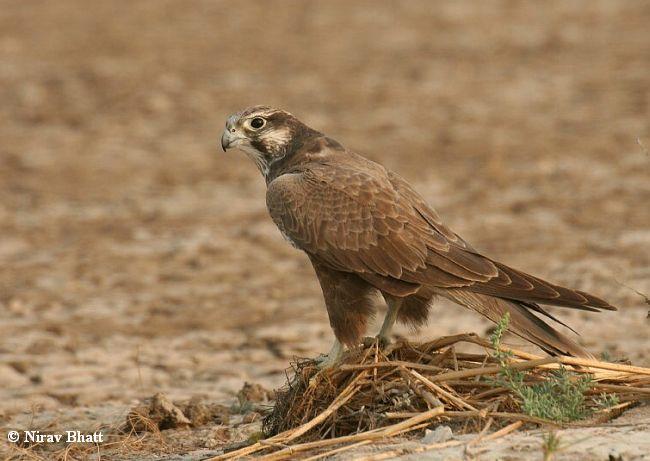 Falconiformes. sub Falconidae - sub fam Falconinae - gênero Falco - Página 2 Laggar_falcon_immature_5169_nb