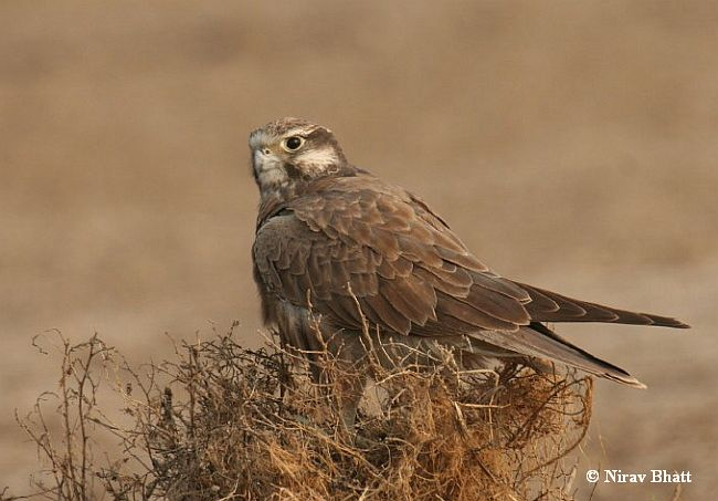 Falconiformes. sub Falconidae - sub fam Falconinae - gênero Falco - Página 2 Laggar_falcon_immature_5174_nb