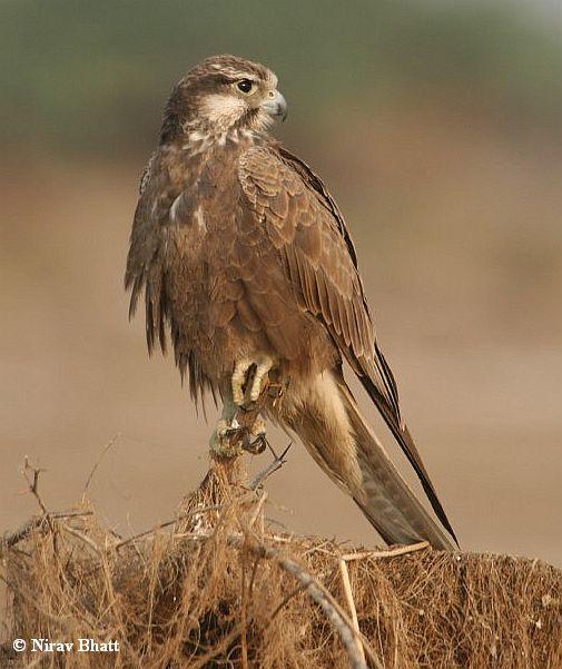 Falconiformes. sub Falconidae - sub fam Falconinae - gênero Falco - Página 2 Laggar_falcon_immature_5192_nb