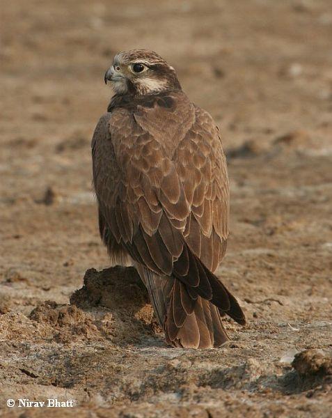 Falconiformes. sub Falconidae - sub fam Falconinae - gênero Falco - Página 2 Laggar_falcon_immature_5241_nb