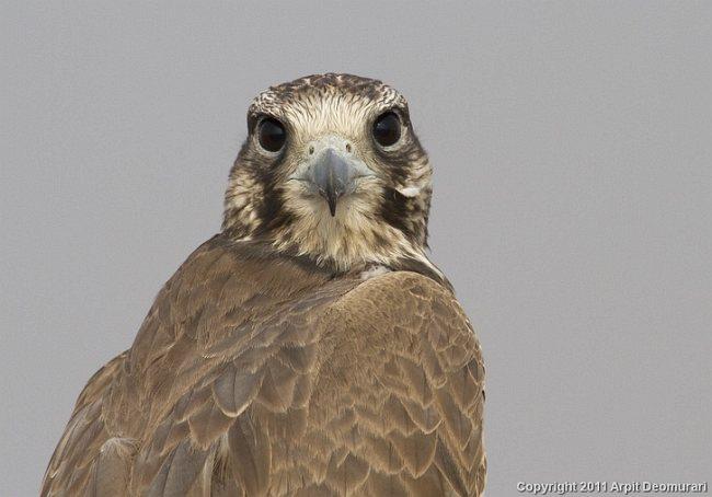 Falconiformes. sub Falconidae - sub fam Falconinae - gênero Falco - Página 2 Laggar_falcon_mg_5585edrsrs