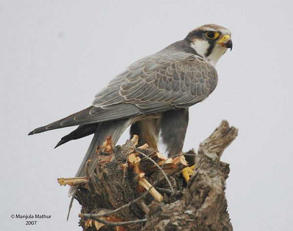 Falconiformes. sub Falconidae - sub fam Falconinae - gênero Falco - Página 2 Laggarfalcon_manjulmathur_12sep08_copy1