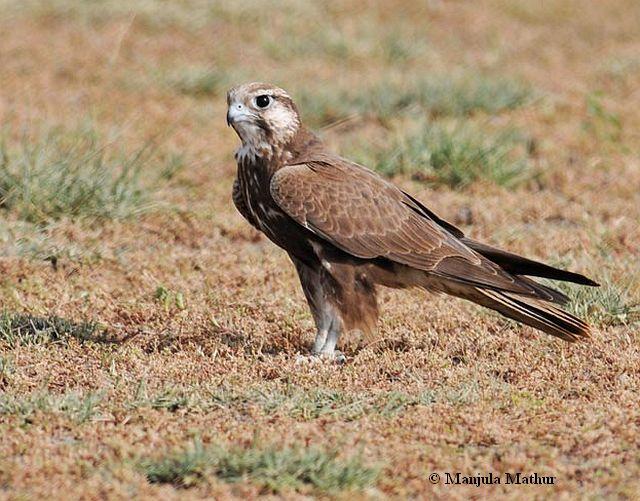 Falconiformes. sub Falconidae - sub fam Falconinae - gênero Falco - Página 2 Laggarfalconmm