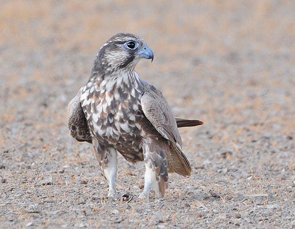 Falconiformes. sub Falconidae - sub fam Falconinae - gênero Falco - Página 2 Laggarjuv