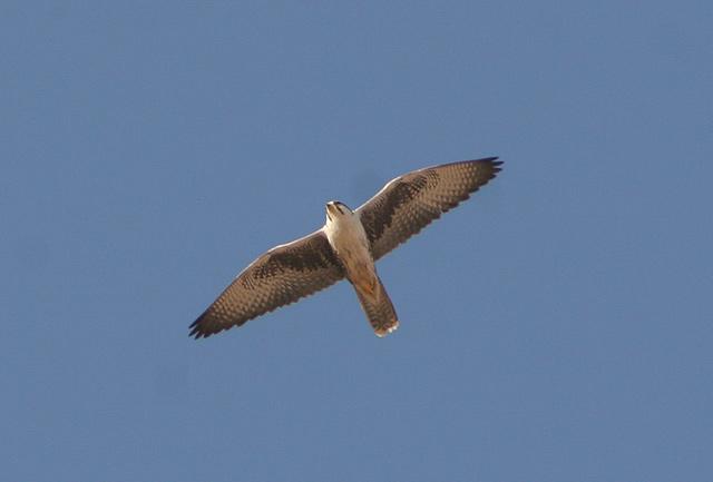 Falconiformes. sub Falconidae - sub fam Falconinae - gênero Falco - Página 2 Lanner_desertnpadult