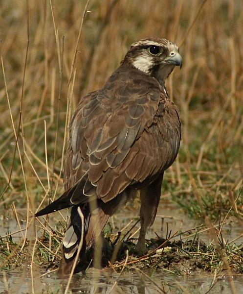 Falconiformes. sub Falconidae - sub fam Falconinae - gênero Falco - Página 2 Lfvvm