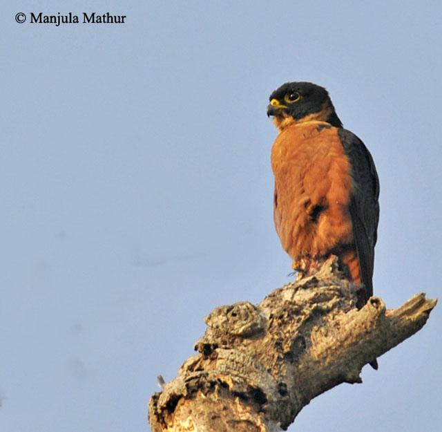 Falconiformes. sub Falconidae - sub fam Falconinae - gênero Falco - Página 3 Oriental_hobby2