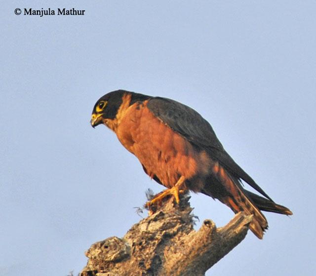 Falconiformes. sub Falconidae - sub fam Falconinae - gênero Falco - Página 3 Oriental_hobby3