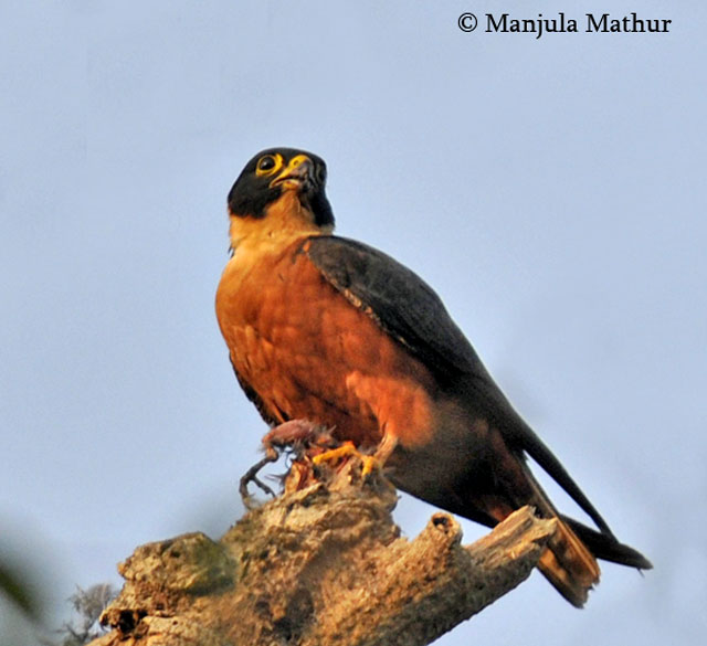 Falconiformes. sub Falconidae - sub fam Falconinae - gênero Falco - Página 3 Oriental_hobby4